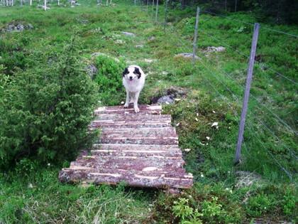 Millan prövar en kavelbro. Vill man njuta av vandringen i Hån Naturreservat bör man ha ordentligt på fötterna.