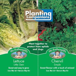Samplantering  Sallad & Körvel