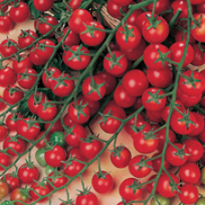 Tomat (Cherry) Sweet Million F1