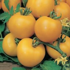 Tomat (Standard) Golden Sunrise