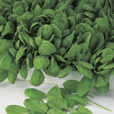 Spinach Apollo F1