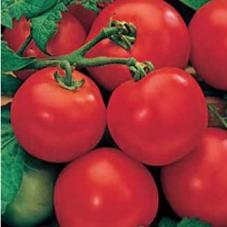 Tomat Moneymaker