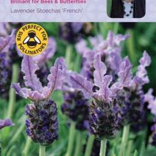 Lavender Stoechas French