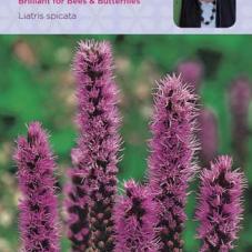 Liatris spicata