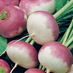 Majrova Turnip Purple Top Milan