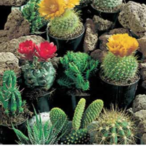 Cactus Superfine Mixe