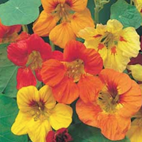 Nasturtium Trailing Single Mixed