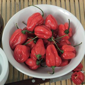 Pepper (Hot) Bhut Jolokia