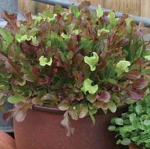 Sallad Red & Green Salad Bowl Mixed