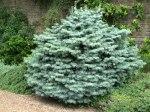 Abies concolor Compacta/ Coloradogran, compacta