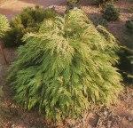 Chamaecyparis lawsoniana 'Sunkist'/ Ädelcypress