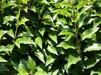 Prunus lusitanica Angustifolia/ Smalbladig portug