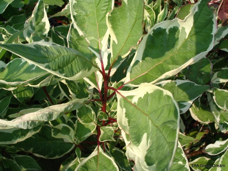 cornus alba 39 elegantissima 39 rysk kornell brokbladig era green dream. Black Bedroom Furniture Sets. Home Design Ideas