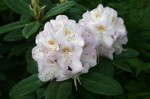 Rhododendron ' Gomer Waterer'