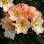 Rhododendron ' Horizon Monarch'