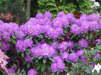 Rhododendron ' Alfred'