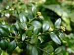 Buxus sempervirens/ Buxbom på stam