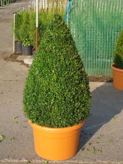 Buxus sempervirens/ Buxbom ( Pyramid)