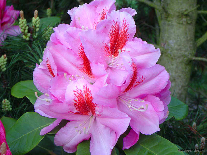 rhododendron_furnivall's_daughter