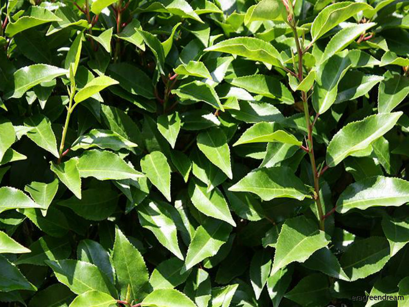 prunus_ usitanica angustifolia