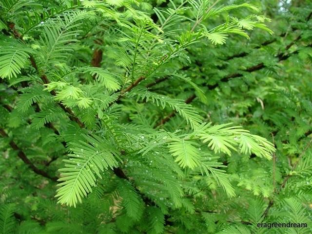 metasequoia glyptostrobioides