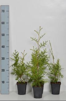 Thuja occ. Brabant 15-20 cm eller 20-30 cm i kruka - 15-20 cm 100 stycken
