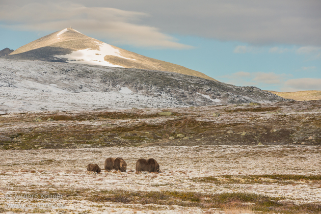 Musk ox cow with calves (just one seen at time being)