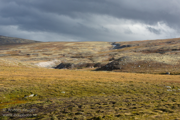 This open, harsh and weather exposed, but beautiful landscape, is ideal for the musk oxes.