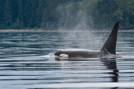 Vancouver Isl., Resident Orca