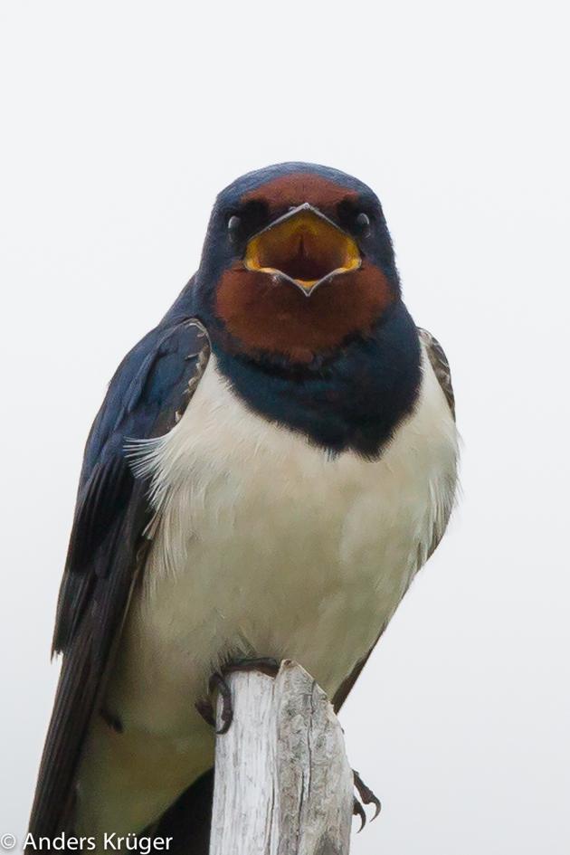 Barn Swallow (Ladusvala)
