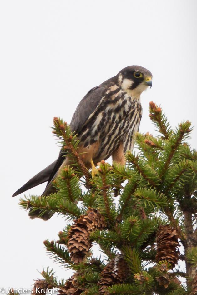 Eurasian Hobby close to its nest (Lärkfalk)