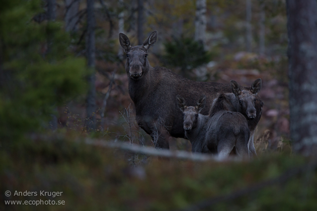 The moose family at twilight time.
