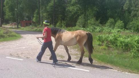 CAHOMs Nordsvenska brukshäst Dolly tränas i Simlångsdalen