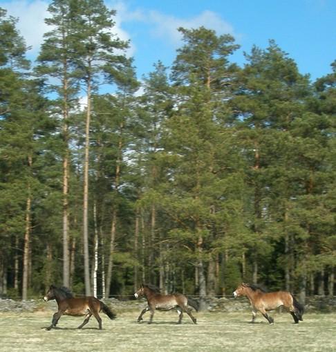 Skallinge gårds turridningshästar  nordsvensk brukshäst
