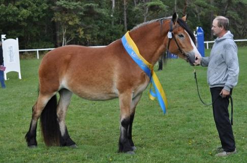 Hallandsuppfödda Leka 22-10- 0029 utsågs till Årets Kallblod 2013 i Falkenberg, Halland