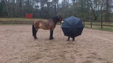 Paraply är något som kan få vilken häst som helst att ta till flykt.. det gäller att närma sig och låta hästens nyfikenhet ta över... Låta hästen komma mot  och följa med.