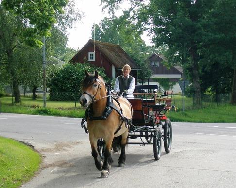Bröllopskörning i Simlångsdalen med nordsvenska stoet Liiv.