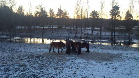 Vinter hos hästarna på Skallinge Gård, Simlångsdalen