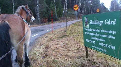 Dolly på väg hem igen efter tömkörningspass. Halter är bra att träna på hemvägen!