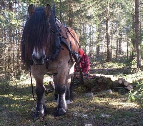 Atlas har jag träffat på på SM i skogkörning när han var 4 år. Ägare / kusk Anders Holmberg.