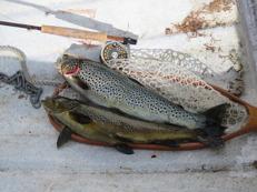 Öringar, tillsammans 2,7 kg, från Burusjön den 7/7 2015.