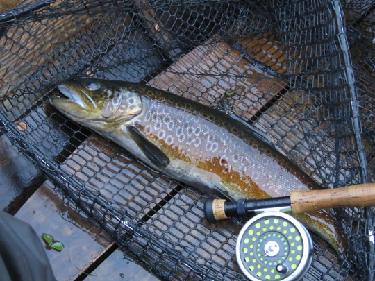 Första flugöringen från Näcksjön slog fast på en Claret dabbler. Den vägde 1,35 kg.