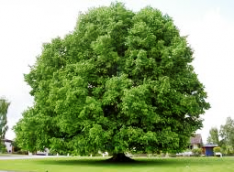 LINDEN - ett heligt träd