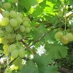 Vindruvor från Castiglione
