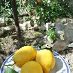 Citroner, apelsiner....