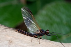Nattslända - Leptophlebia Marginata