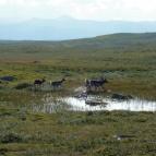 Dag 16 - Renarna plaskar runt i vattentäckta myrmarker