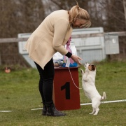 Bis junior Jack Russel. Whistlewood`give the girl a kiss. Ägare.Maria Gustavsson Vartofta