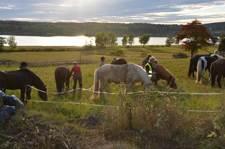 Hästar i kvällssolen