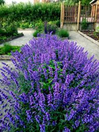Vacker och väldoftande lavendel. Merparten av det vi odlar använder vi även som smaksättare eller dekoration i vår matlagning.